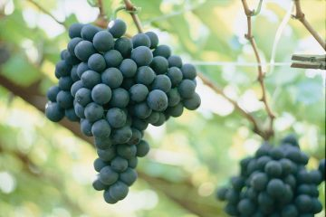 druiven1